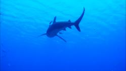 Длинокрылая акула на Ras Mohamade