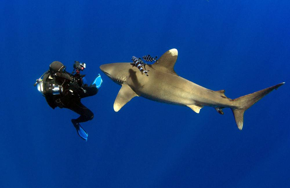 Рекомендации по дайвингу с акулами от CDWS